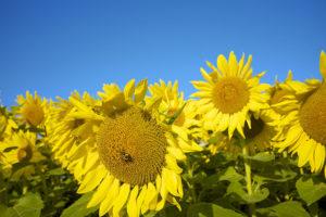 Sunflowers, Coaching, massage, spiritual